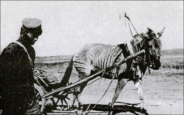 1900 р. Виведених у заповіднику зебро-коней на початку ХХ століття використовували в…