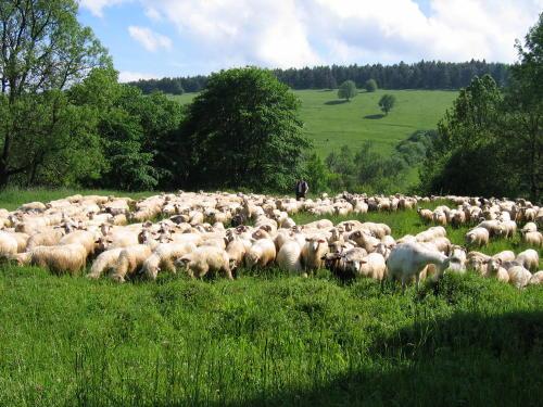 [2003..2006 р.] Випас овець